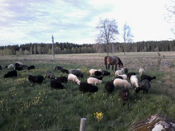 Välhängt lammkött i 7 dagar